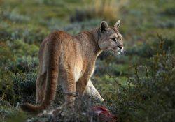 Patagonia Puma Tracking