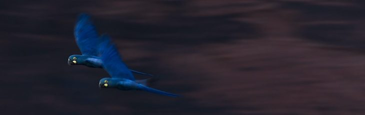 The amazing Hyacinth and Lear's macaws in Brazil