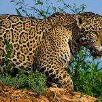 Meet the mighty Jaguar of the Pantanal