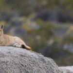 Puma: One of the America's top predators